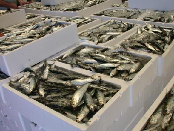 """La sardina es pesca """" a caixes"""""""