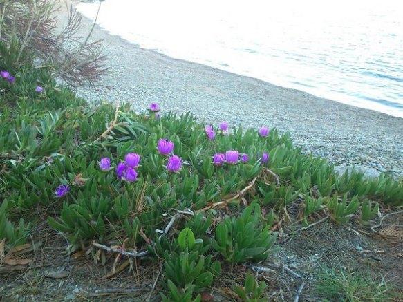 Carpobrotus a una platja del Cap de Creus