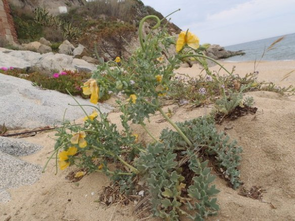 En primer terme, cascall amrí, al darrera rave de mar i més endarrera Carpobrotus creixent a la sorra