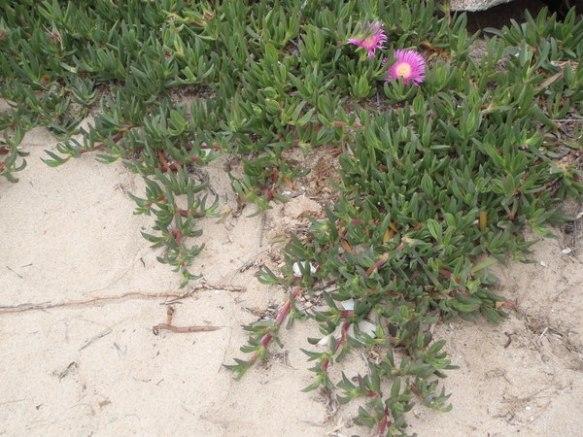 Carpobrotus creixent a una platja