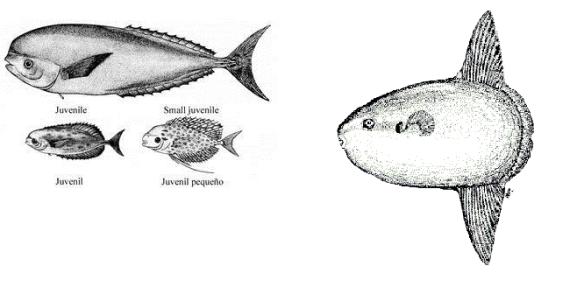 L´emperador (Luvarus imperialis) i el peix lluna (Mola mola) tenen una certa retirada
