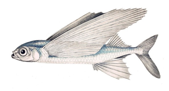 Orenol (Exocoetus volitans), peix volador que els censors anomenen de manera molt burda golondrino.