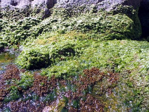 Les ulvals com l´enciam de mar són indici de una