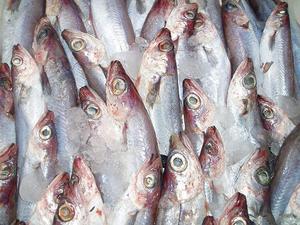 La maire, un peix de proximitat amb una carn de molt bona qualitat