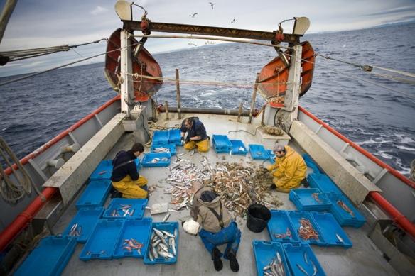 Triant el peix a coberta d´un quillat. Foto: Roger Rovira