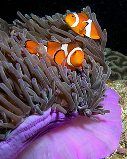 250px-Anemone_purple_anemonefish
