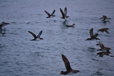 baldriga mediterrania al Cap de Creus. Grup NOA